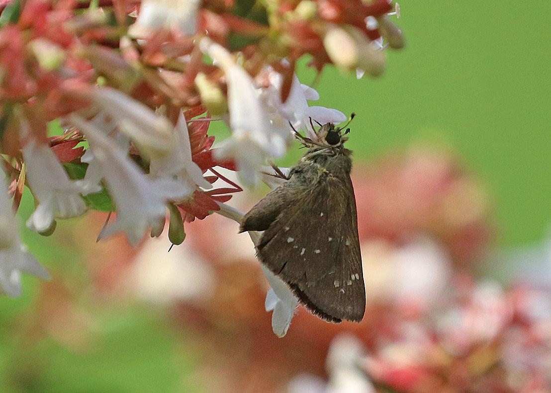 夏から秋のチョウたち② 花に来るチョウたち_d0146854_20264224.jpg