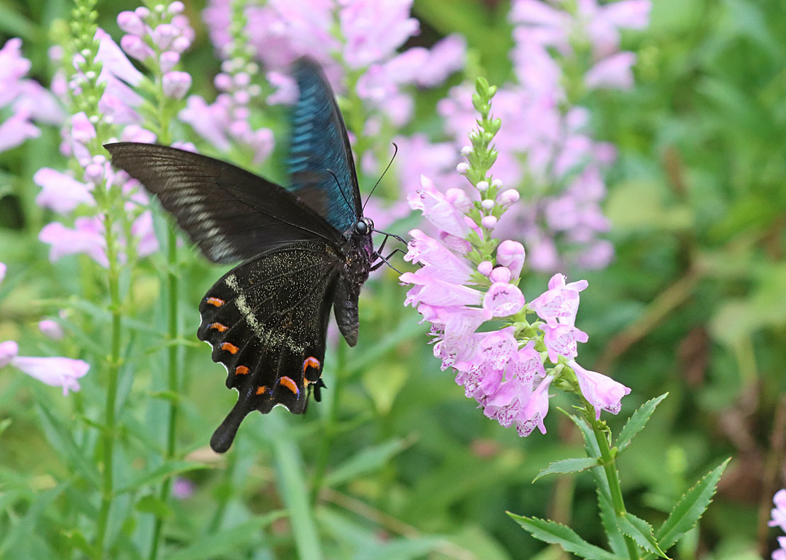 夏から秋のチョウたち② 花に来るチョウたち_d0146854_20312804.jpg