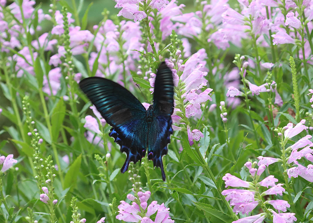 夏から秋のチョウたち② 花に来るチョウたち_d0146854_20312865.jpg