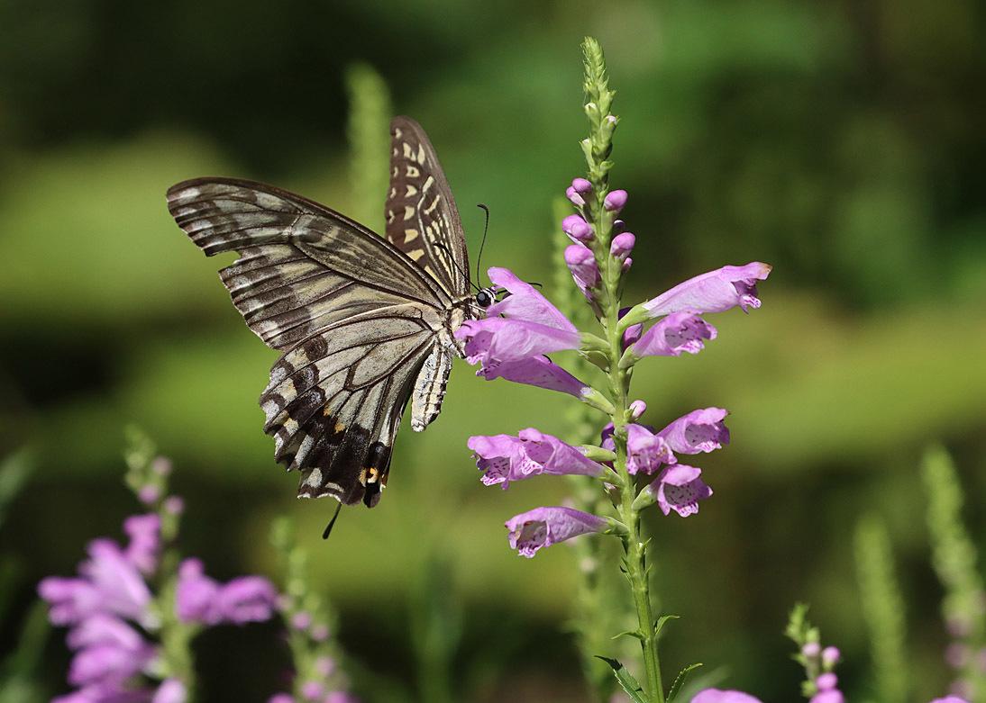 夏から秋のチョウたち② 花に来るチョウたち_d0146854_20345683.jpg