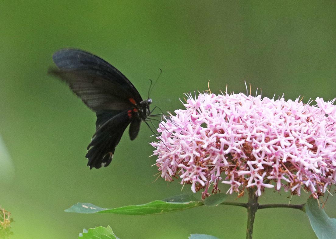 夏から秋のチョウたち② 花に来るチョウたち_d0146854_20362082.jpg