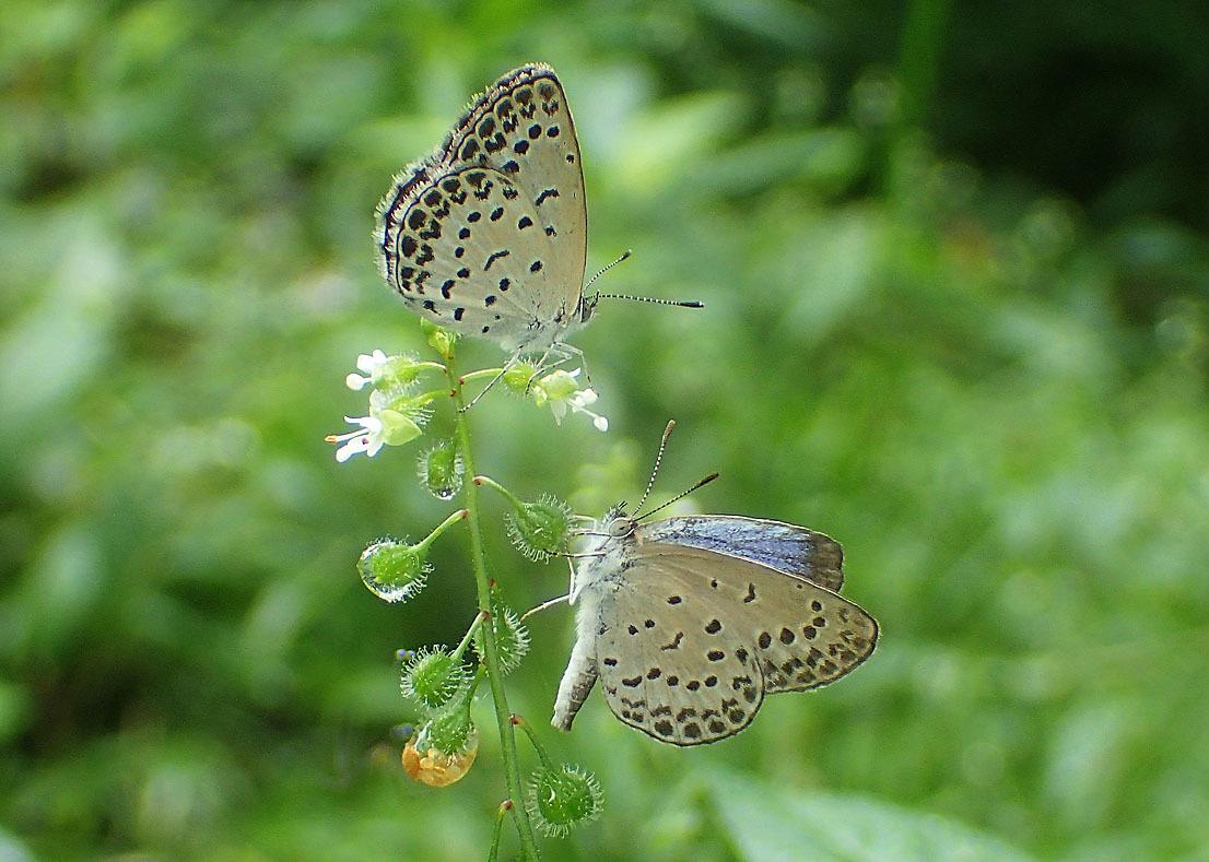 夏から秋のチョウたち② 花に来るチョウたち_d0146854_20401614.jpg