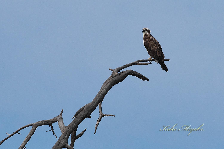 ミサゴ(Osprey)_d0013455_15473310.jpg