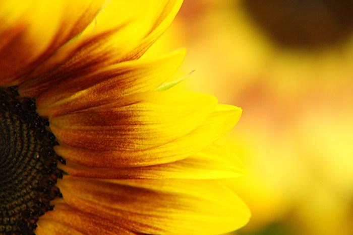 秋、向日葵_c0120834_12403929.jpg