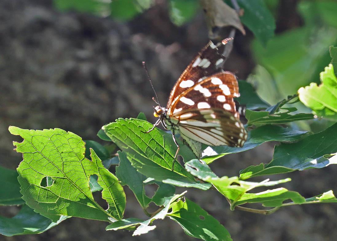 夏から秋のチョウたち③ 命をつなぐ_d0146854_08362049.jpg