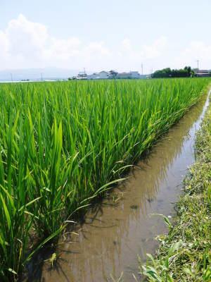七城米 長尾農園 美しすぎる田んぼの稲刈り(2021) 新米の出荷は10月下旬からの予定です!(前編) _a0254656_19422270.jpg