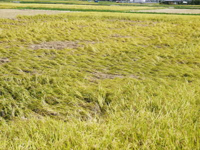 七城米 長尾農園 美しすぎる田んぼの稲刈り(2021) 新米の出荷は10月下旬からの予定です!(前編) _a0254656_20123597.jpg