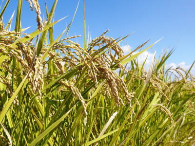 七城米 長尾農園 美しすぎる田んぼの稲刈り(2021) 新米の出荷は10月下旬からの予定です!(前編) _a0254656_20175077.jpg