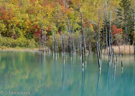 紅葉の「青い池」~10月の美瑛_d0340565_20331725.jpg