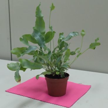 【マイクロスコープの斉藤光学です】観葉植物を見てみました。_c0164695_10035794.jpg