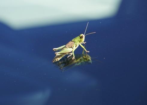 Dragonflies at window frame, Oxya yezoensis on bonnet _f0006713_08071886.jpg