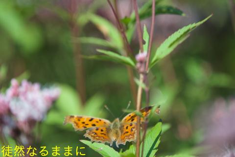 ヤクシマルリシジミ_d0285540_20373556.jpg