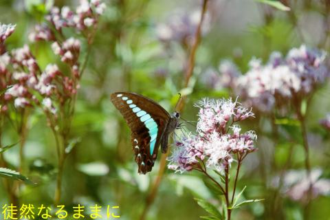 ヤクシマルリシジミ_d0285540_20552598.jpg