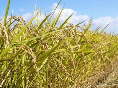 七城米 長尾農園 美しすぎる田んぼの稲刈り(2021) 新米の出荷は10月下旬からの予定です!(後編) _a0254656_18152757.jpg