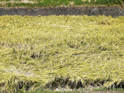 七城米 長尾農園 美しすぎる田んぼの稲刈り(2021) 新米の出荷は10月下旬からの予定です!(後編) _a0254656_18173357.jpg