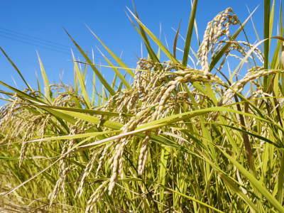 七城米 長尾農園 美しすぎる田んぼの稲刈り(2021) 新米の出荷は10月下旬からの予定です!(後編) _a0254656_18473446.jpg