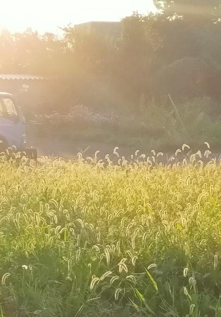 20211015 【植物】エノコログサに朝陽があたって_b0013099_12200341.jpg
