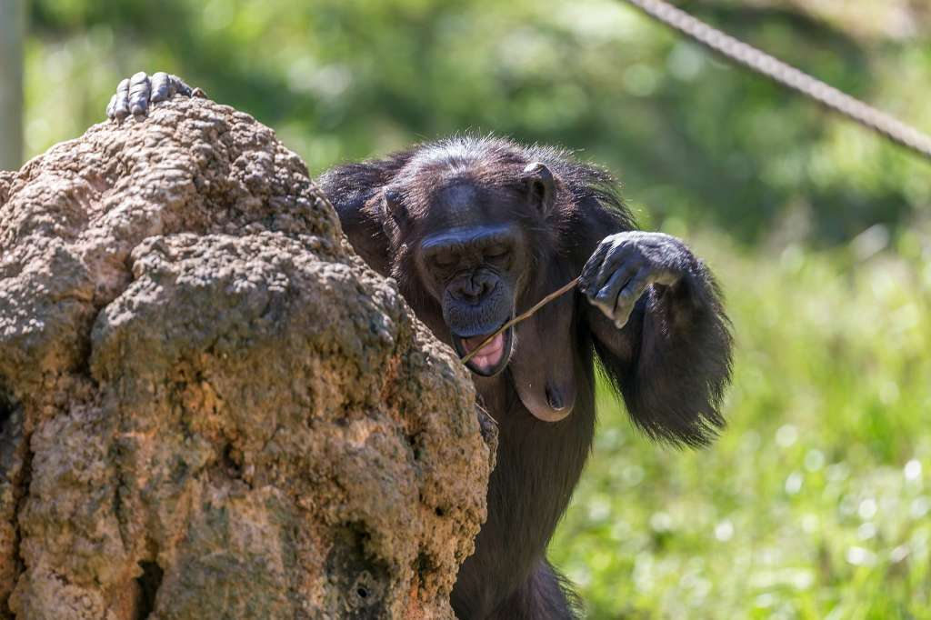 チンパンジー_f0044056_16350333.jpg