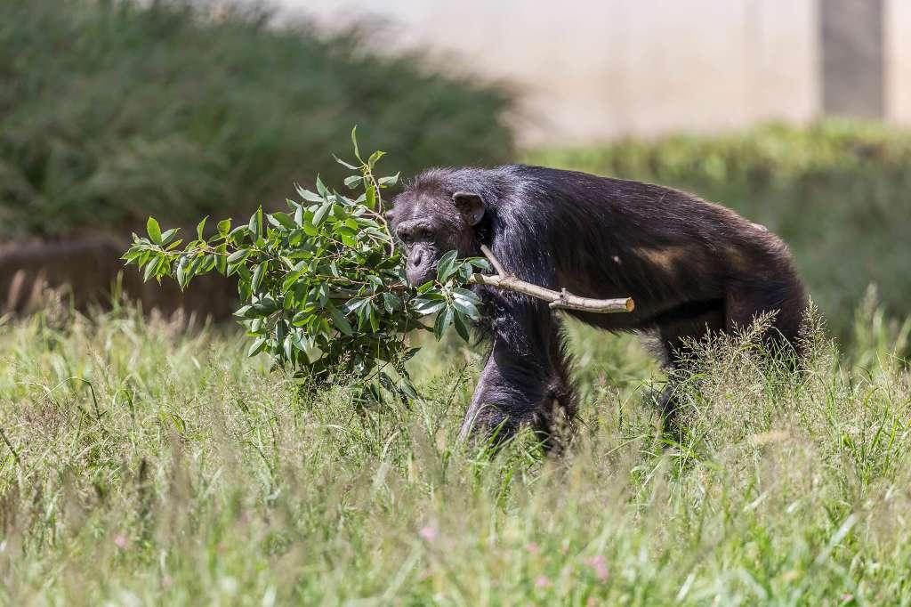 チンパンジー_f0044056_16351701.jpg