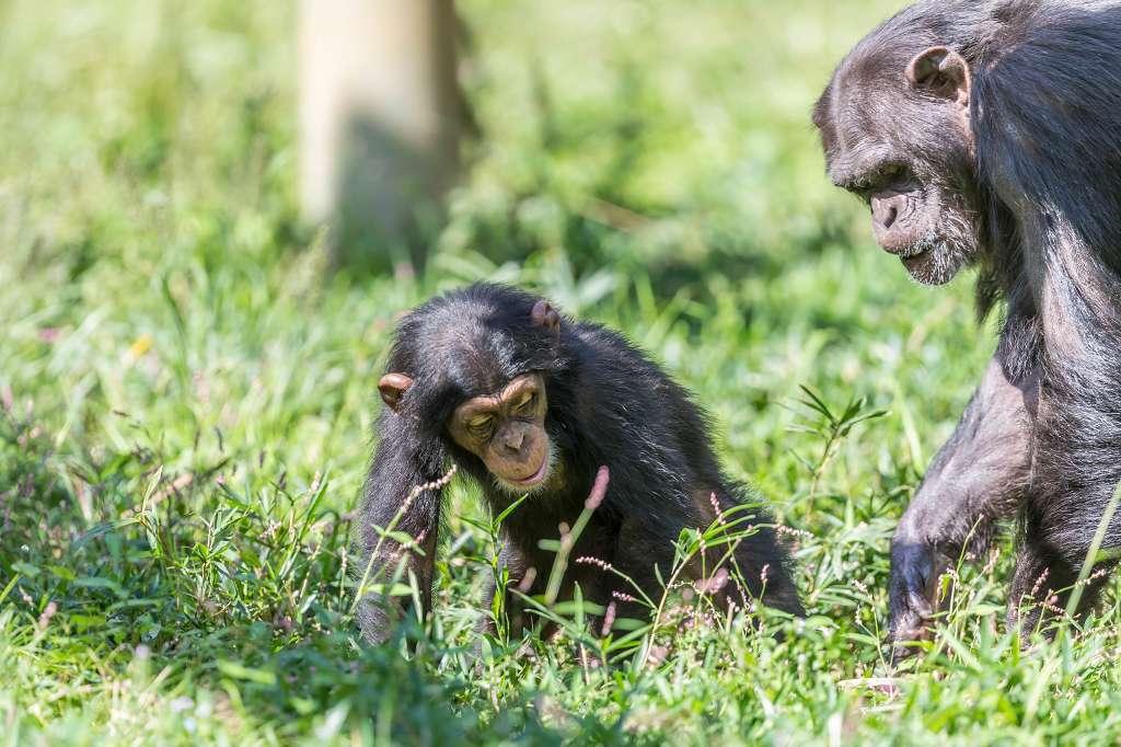 チンパンジー_f0044056_16353206.jpg