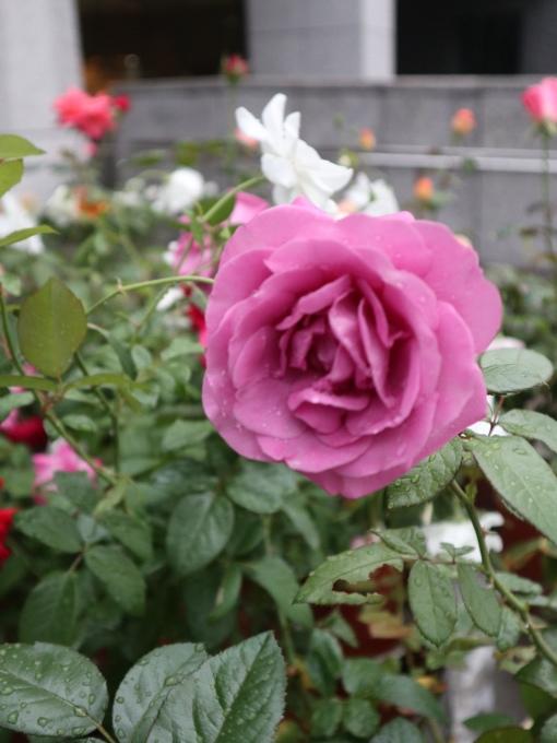 「バラのすべて」に行ってまいりました♪_b0331802_23170843.jpg