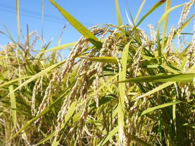 『砂田のこだわりれんげ米』の稲刈り2021 頑固おやじから引き継いだ息子さんたちが育て上げました!_a0254656_17370731.jpg
