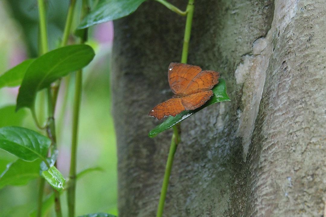 在りし日、南国の蝶達と楽しむ。 カバタテハ(2021/past days)①_d0387460_10482014.jpg