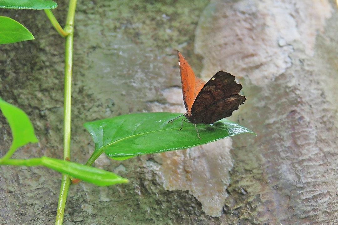 在りし日、南国の蝶達と楽しむ。 カバタテハ(2021/past days)①_d0387460_10482784.jpg