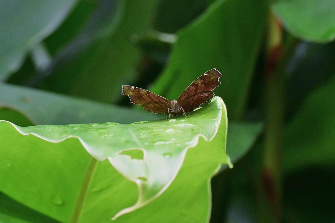 在りし日、南国の蝶達と楽しむ。 カバタテハ(2021/past days)①_d0387460_10483415.jpg