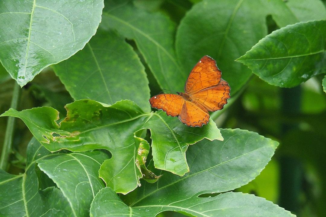 在りし日、南国の蝶達と楽しむ。 カバタテハ(2021/past days)①_d0387460_10484267.jpg