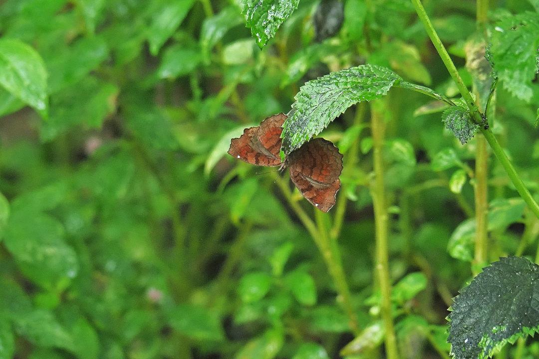 在りし日、南国の蝶達と楽しむ。 カバタテハ(2021/past days)①_d0387460_10485061.jpg