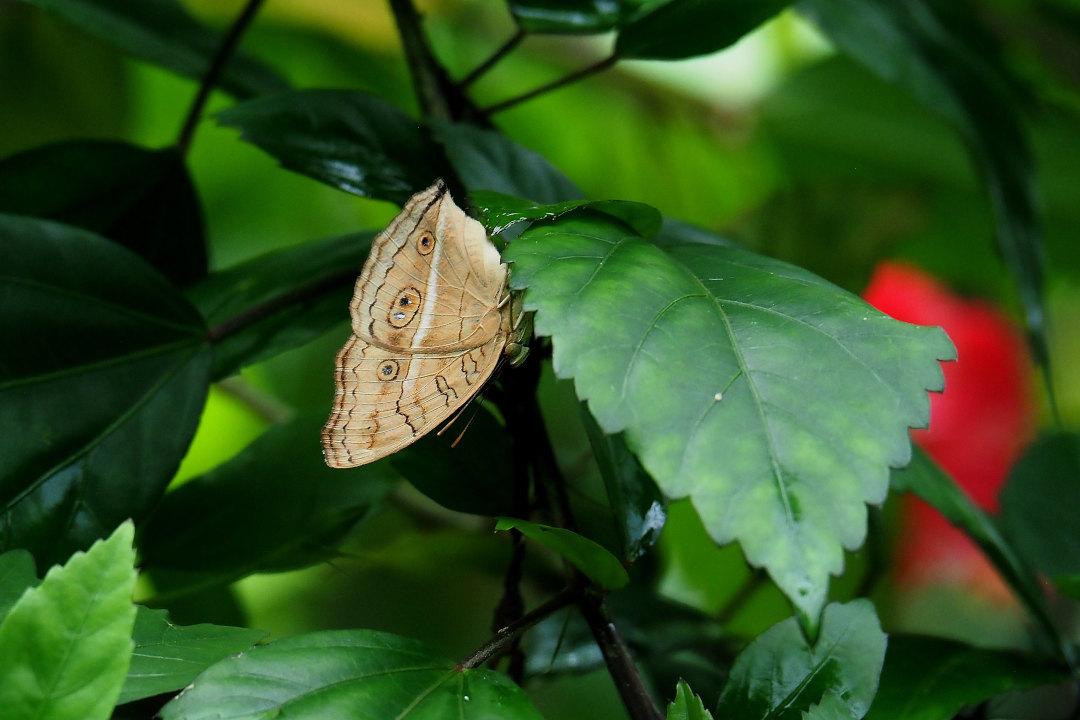 在りし日、南国の蝶達と楽しむ。 カバタテハ(2021/past days)①_d0387460_10485915.jpg