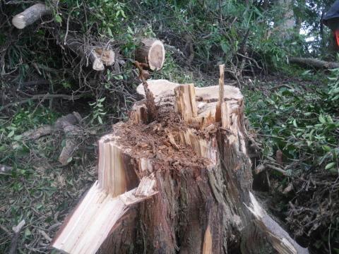 台風で傾いたスギの幹に腐り:10・16六国見山手入れ_c0014967_17502090.jpg