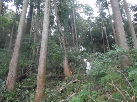 台風で傾いたスギの幹に腐り:10・16六国見山手入れ_c0014967_17505091.jpg