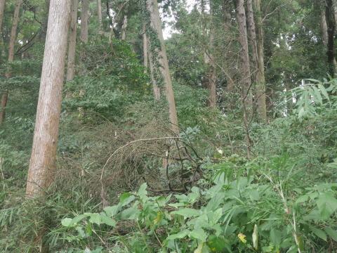 台風で傾いたスギの幹に腐り:10・16六国見山手入れ_c0014967_17513743.jpg