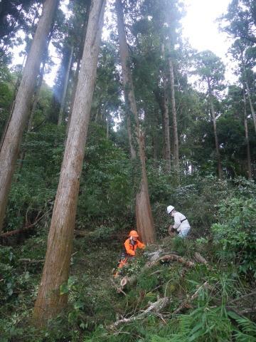 台風で傾いたスギの幹に腐り:10・16六国見山手入れ_c0014967_17525975.jpg