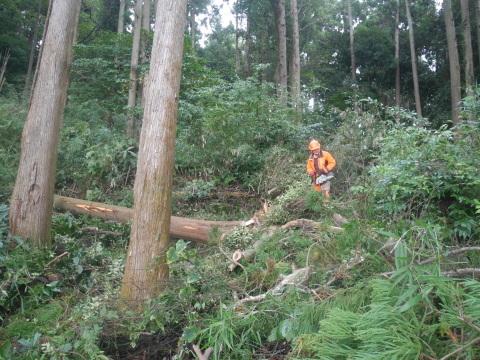 台風で傾いたスギの幹に腐り:10・16六国見山手入れ_c0014967_17540083.jpg
