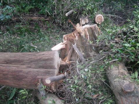 台風で傾いたスギの幹に腐り:10・16六国見山手入れ_c0014967_17541602.jpg