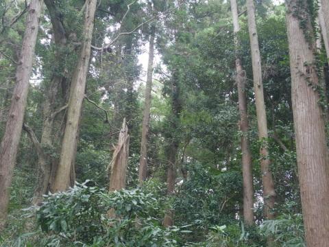 台風で傾いたスギの幹に腐り:10・16六国見山手入れ_c0014967_17554967.jpg