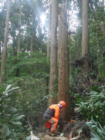 台風で傾いたスギの幹に腐り:10・16六国見山手入れ_c0014967_17572318.jpg