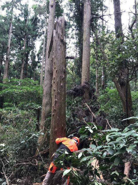 台風で傾いたスギの幹に腐り:10・16六国見山手入れ_c0014967_17580726.jpg