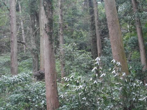 台風で傾いたスギの幹に腐り:10・16六国見山手入れ_c0014967_17591852.jpg