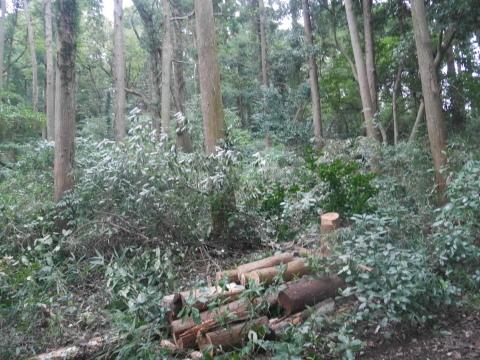 台風で傾いたスギの幹に腐り:10・16六国見山手入れ_c0014967_18004762.jpg