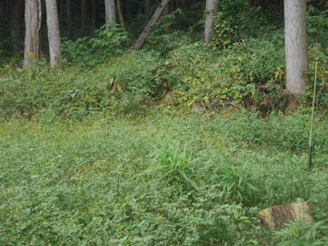 台風で傾いたスギの幹に腐り:10・16六国見山手入れ_c0014967_18014408.jpg
