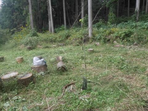 台風で傾いたスギの幹に腐り:10・16六国見山手入れ_c0014967_18031761.jpg