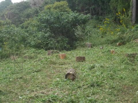 台風で傾いたスギの幹に腐り:10・16六国見山手入れ_c0014967_18040622.jpg