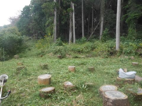 台風で傾いたスギの幹に腐り:10・16六国見山手入れ_c0014967_18042228.jpg