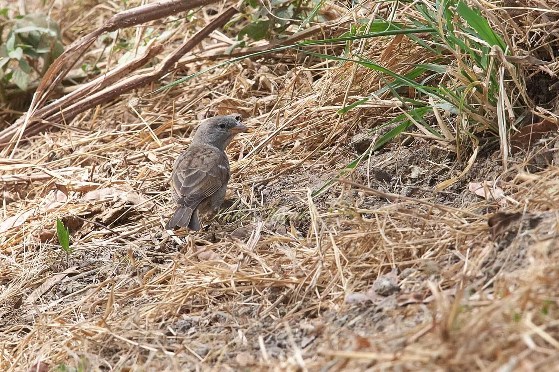 ハイガシラスズメ(Grey-headed Sparrow )_d0013455_20583706.jpg