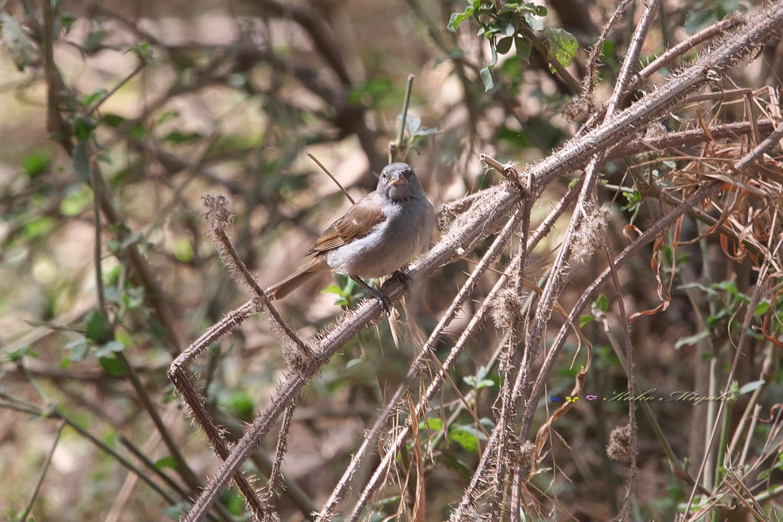 ハイガシラスズメ(Grey-headed Sparrow )_d0013455_20584061.jpg