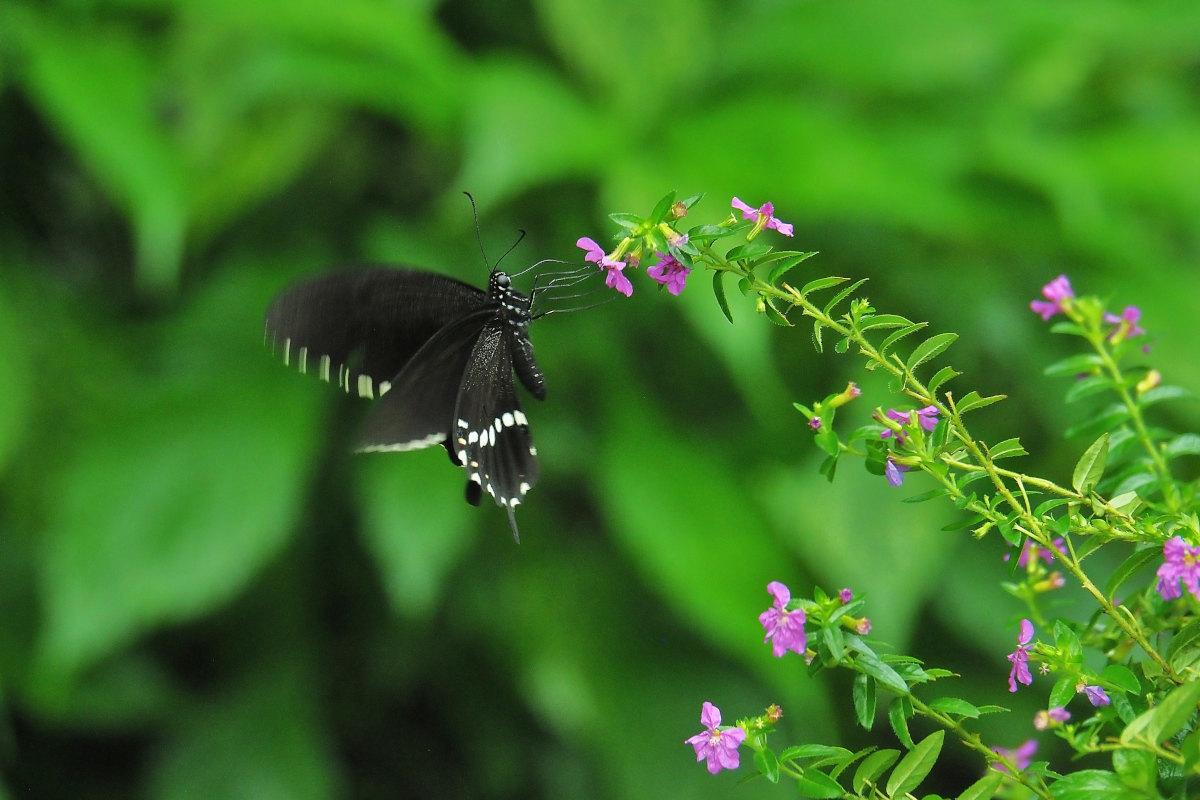 在りし日、南国の蝶達と楽しむ。 シロオビアゲハ(2021/past days)②_d0387460_15532157.jpg